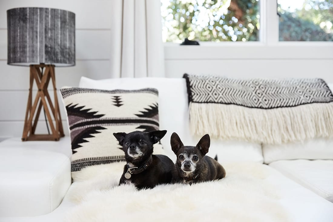 two small dogs cuddle on a sheep skin rug