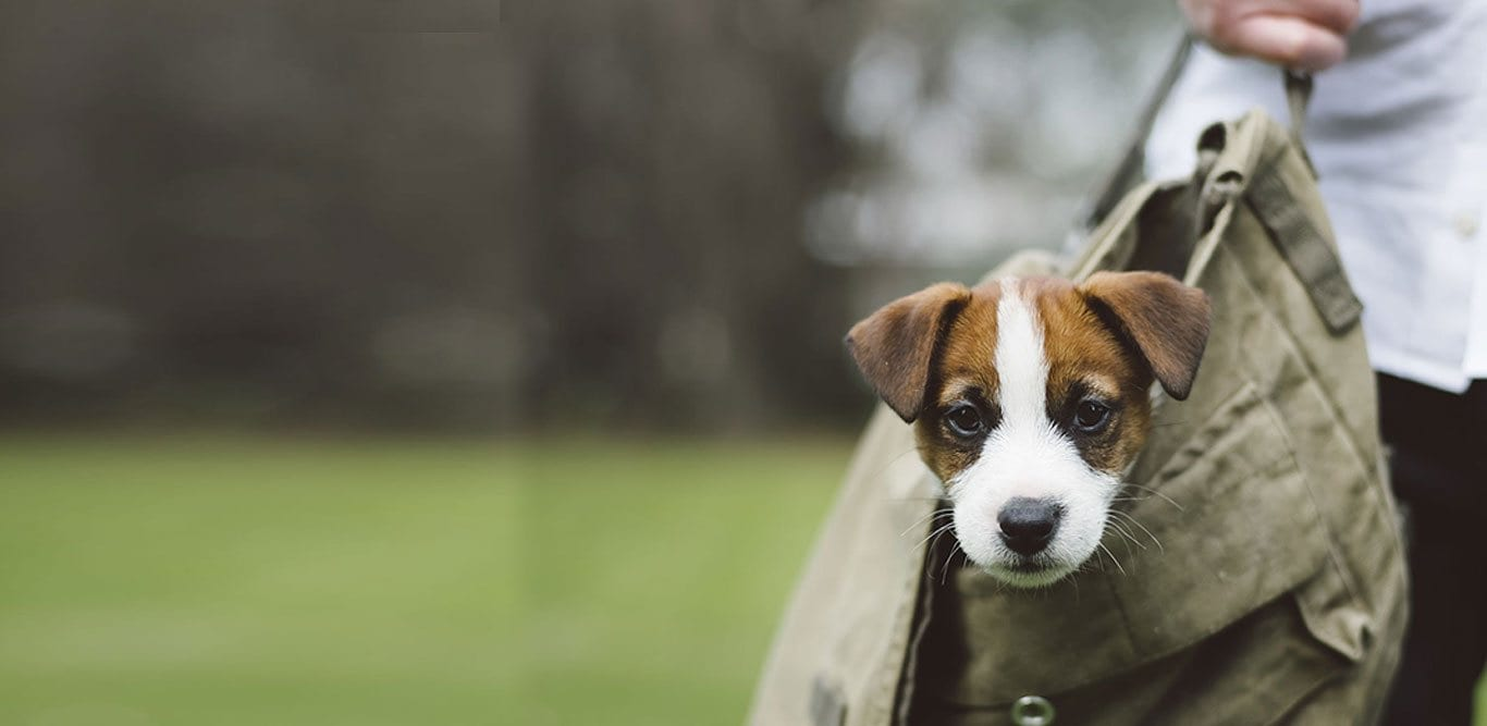A small dog carried in a shoulder bag