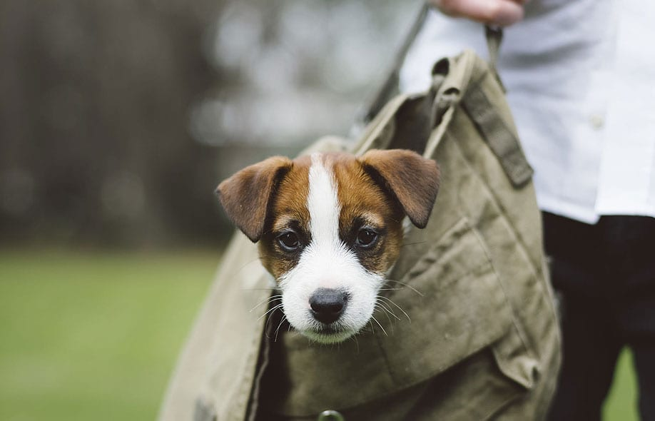 a small dog looking from a carry bag